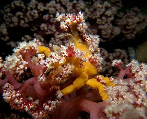 decorator crabs and sea sponges sponge decorator crab hyastenus elatus