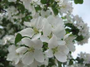 what trees white blossoms what do i know three anchorage trees with white flowers