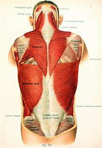 Superficial Muscles Of The Thorax And Back While
