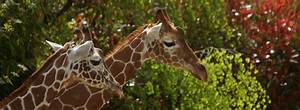 Billet Zoo De Beauval Leclerc : girafe les animaux zooparc de beauval ~ Medecine-chirurgie-esthetiques.com Avis de Voitures