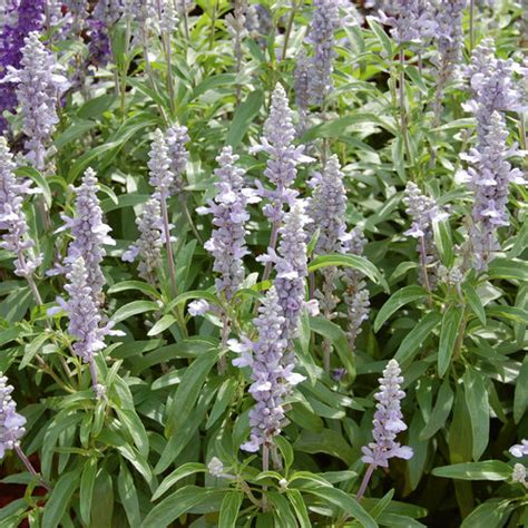 cathedral sky blue salvia farinacea proven winners