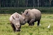 非洲黑犀牛_360百科