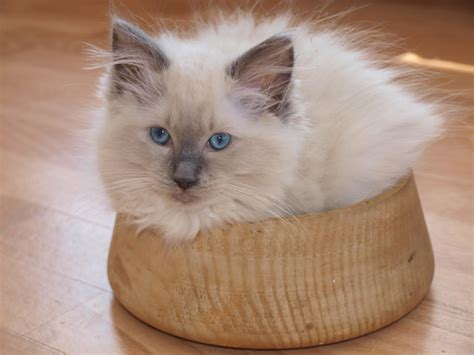 Do Ragdoll Cats Have To Stay Indoors?  Pet Solution Friend