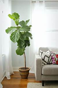 How to Keep a Fiddle Leaf Fig Alive and Happy | Fiddle ...