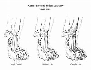 Dog Paw Bones Anatomy Skeletal Anatomy Of Canine Paw More