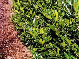 Portugiesischer Kirschlorbeer Düngen : kirschlorbeer d ngen anleitung pflege tipps plantura ~ Watch28wear.com Haus und Dekorationen