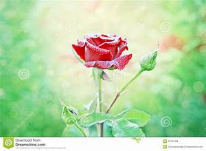 The gallery for --> Red Rose With Stem With Water Drops