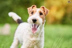 wire fox terrier shedding fox terrier breed information buying advice photos