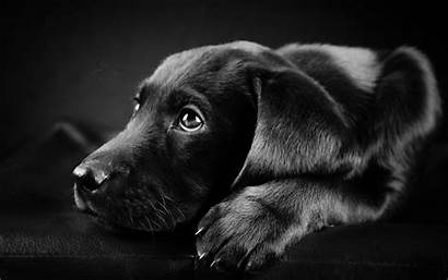 Puppy Wallpapers Lab