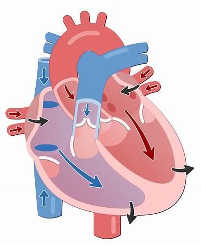 Cycle Cardiac Systole Diastole Ventricular Phases Heart