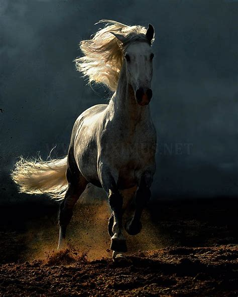 andalusian horse arab breed