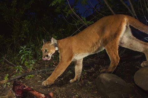 california mountain lion p  killed kittens