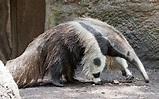 Giant Anteater   The Parody Wiki   Fandom powered by Wikia