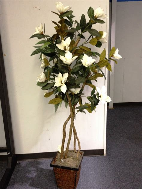 magnolia tree  ivory indoor plants