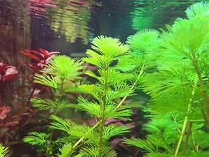 Pflanzen Für Aquarium : aquarium pflanzen f r den hintergrund eine auswahl ~ Buech-reservation.com Haus und Dekorationen