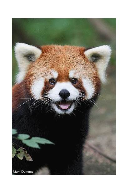 Panda Animals Cutest Facts Funny Pandas Animal