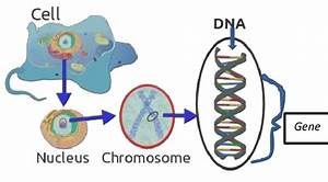 Lesson Plan Of Dna  Genes And Chromosomes General Science