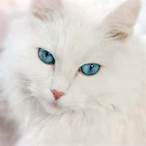 white cat with blue image 600px white cat with blue jpg free realms