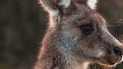 Kangaroo Face Animal Wallpapers Animals Greepx 4k