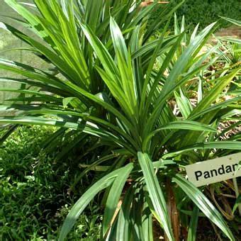back to nature khasiat daun pandan serbaserbi