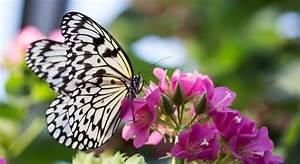 Mariposas: guías de especies, imágenes y recursos