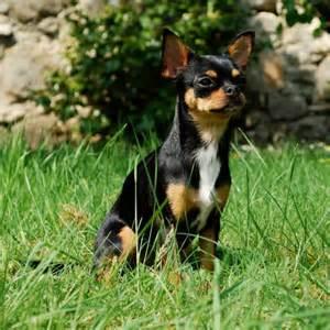 Durée De Vie D Un Chihuahua by Le Chihuahua Races De Chiens Accueillir Un Chien Chiens