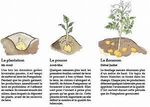 Période Pour Planter Les Pommes De Terre : pomme de terre pompadour label rouge ~ Melissatoandfro.com Idées de Décoration