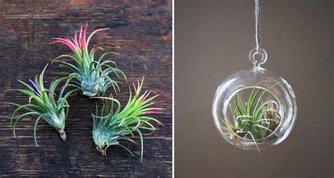 tillandsias plantes aeriennes varietes entretien floraison maladies muramur