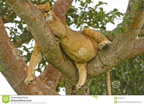 Young Male Lion Resting In A Tree After A Big Meal Stock