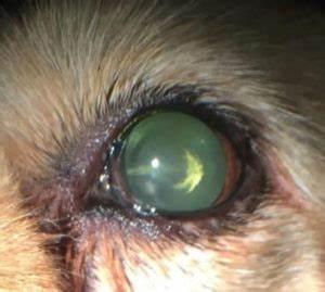 Cataracts in Dogs – Animal Eye Clinic