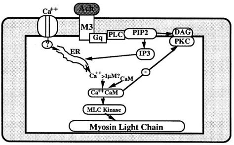 Myosin Light Chain Kinase by What Are The Signal Transduction Pathways In Esophageal