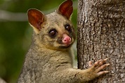 Reintroduced marsupials may pose new threat to ground ...