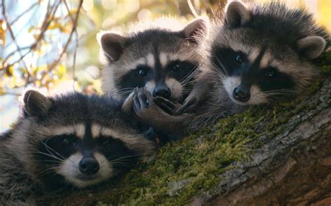 raccoon hd wallpapers wallpapersnet