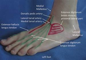 Anatomical Landmarks On The Dorsum Of The Left Foot