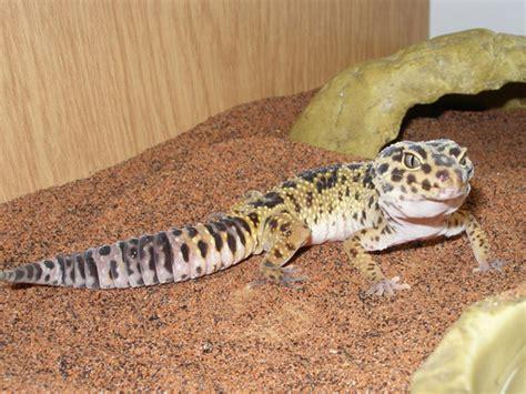 geco alimentazione geko leopardino