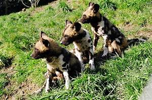 Wildlife of the World: African Wild Dog Wallpapers 2012