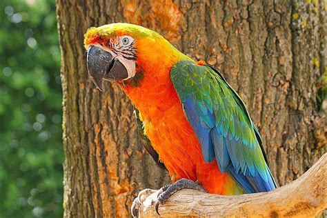 cat trees for large cats types of macaw hybrids and crosses