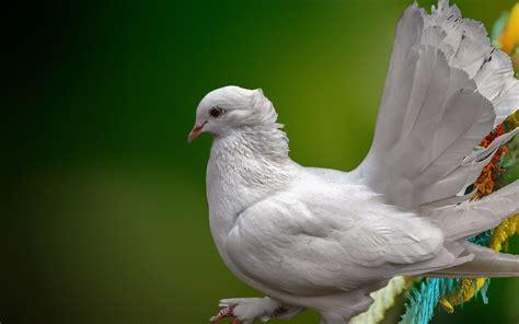 white pigeon bird full hd wide wallpapers beautiful hd