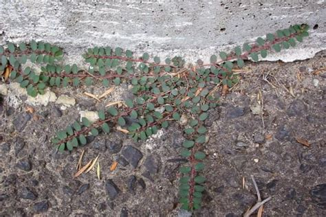 red caustic weed weed identification brisbane city council
