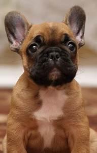 Hundebekleidung Französische Bulldogge : die 25 besten ideen zu hundebabys auf pinterest niedliche babyhunde welpen welpen und hunde ~ Frokenaadalensverden.com Haus und Dekorationen