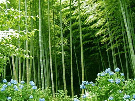 where will bamboo grow how to grow bamboo the garden of eaden