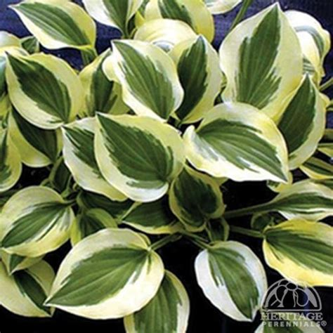 can hostas survive in sun 17 best images about hostas on pinterest sun shade perennials and green leaves