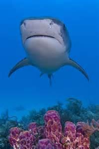 Underwater Tiger Shark