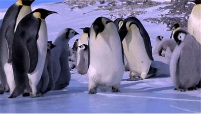 Penguin Emperor Penguins Gifs Funny Pinguin Ice