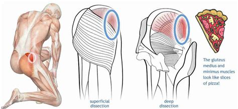 Related online courses on physioplus. Muscles of the Gluteal Region • Bodybuilding Wizard