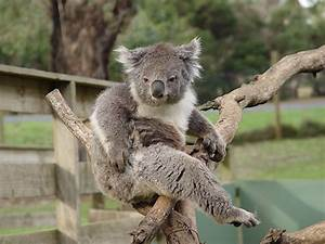Koala Funny Face | www.pixshark.com - Images Galleries ...