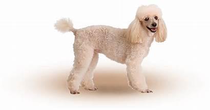 Caniche Nain Dog Purina Chien