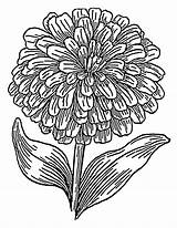 Coloring Flower Drawing Hydrangea Pages Sheets Pink Zinnia Line Marigold Clip Adult Drawings Zinnias Floral sketch template