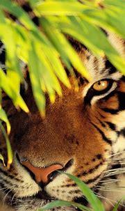 Wallpapers felidae, wildlife, whiskers, white tiger ...
