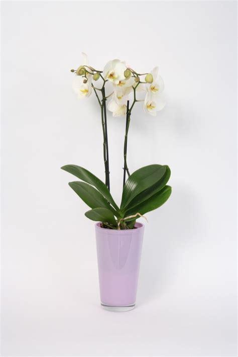 bosjes bloemen verzenden phalaenopsis in hoog lavendel glas thuisbloemist orchidee 235 n